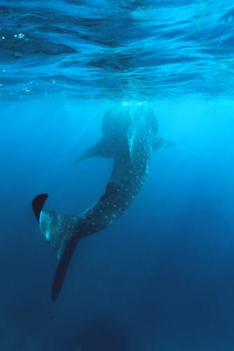 amazing_animals_-_oslob_whaleshark_encounter_-_cyan_adventures